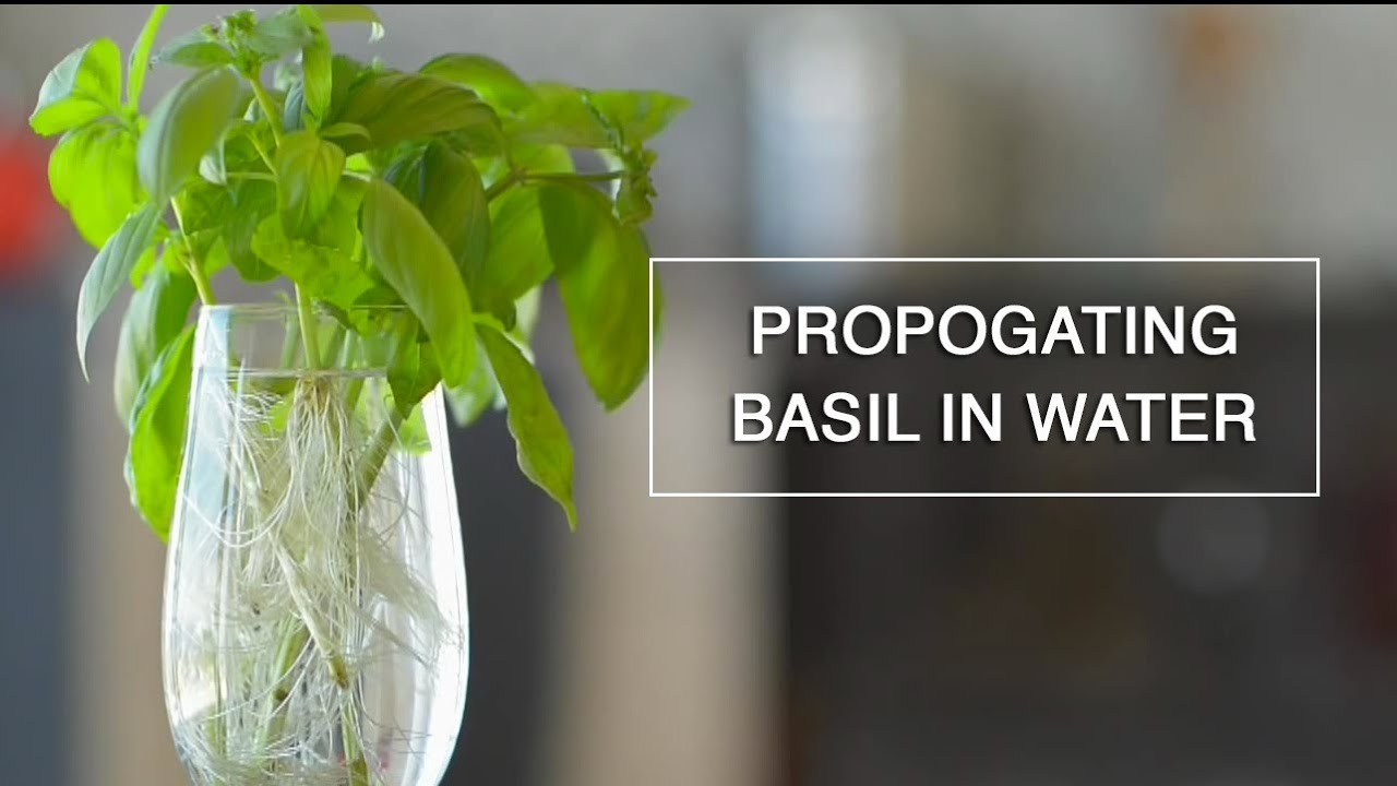 Rooting Basil Water Endless Supply Youtube