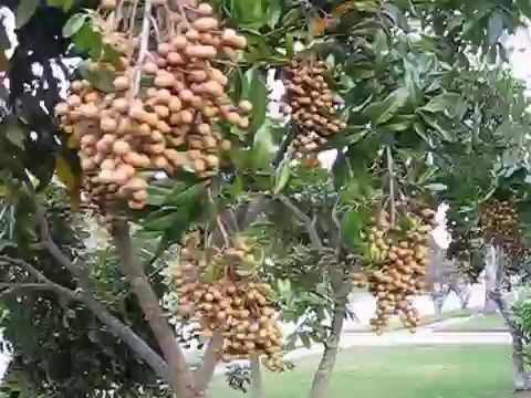 YOU MUST SEE Too heavy fruits LONGAN fruit tree in Central Florida Orlando