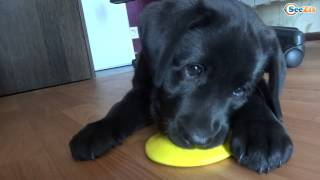 Cutest Labrador Puppy Playing With Toys. Oh That Puppies Eyes Just Look - Fluffies
