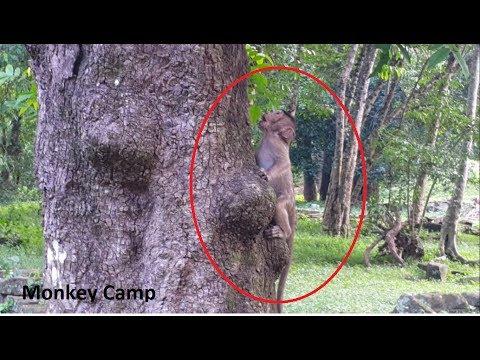 Baby monkey cry cuz of can't climb up the tree, Pity baby monkey life, Monkey Camp part 1230