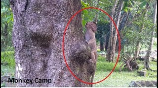 Baby monkey cry cuz of can't climb up the tree, Pity baby monkey life, Monkey Camp part 1230