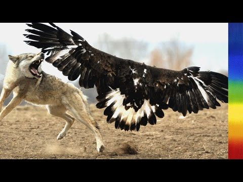 Bald Eagle  Nature's Largest Raptors National Geographic Documentary