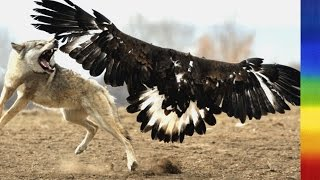 Bald Eagle - Nature's Largest Raptors National Geographic Documentary
