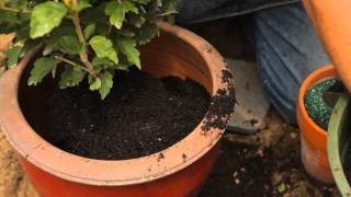 How to Care for a Rose of Sharon Hibiscus in a Pot : Garden Savvy