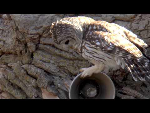 Calling Owls