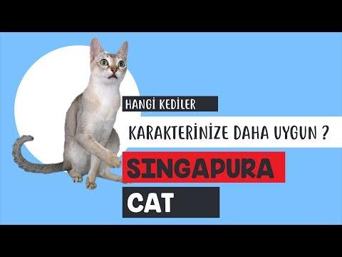 Singapura kedisinin özellikleri neler?
