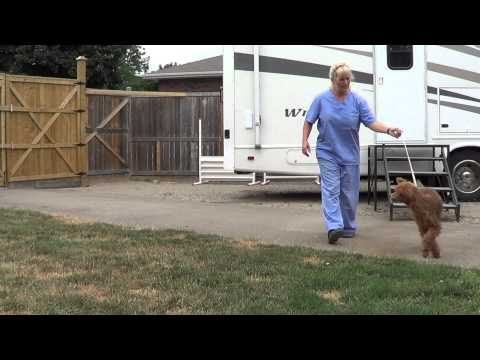Puppy show training for conformation