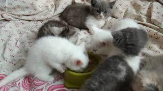kittens Manchkin are available to you.Котята манчкин учатся есть