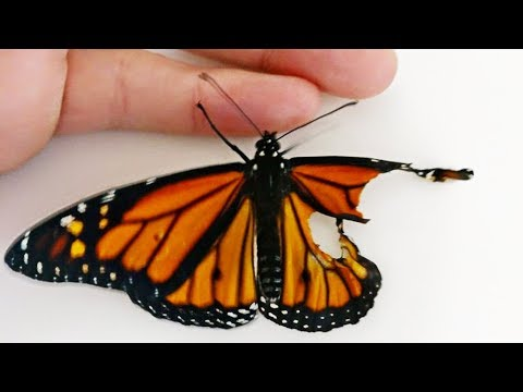 Woman Performed Surgery On Butterfly With Broken Wing, Next Day It Surprised Her.
