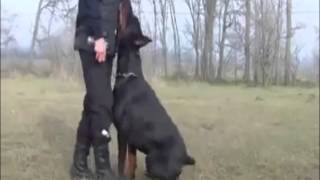 Wolfgang  The Expert Dog Training  Top European Doberman Male