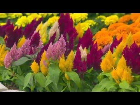 цветок целозия перистая фото