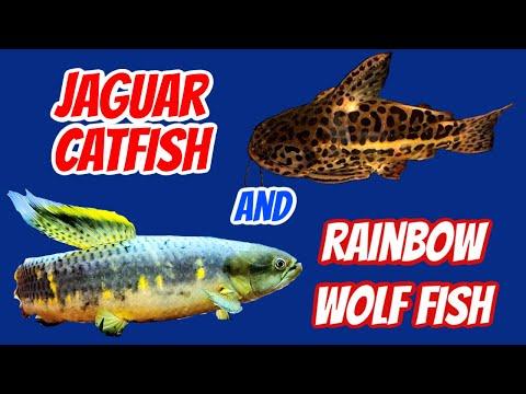 Rainbow Wolf Fish And Jaguar Catfish Added To Bichir Tank