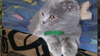 Британская кошка. Британская короткошерстная кошка. Вислоухая кошка