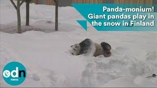 Panda-monium! Giant pandas play in the snow in Finland