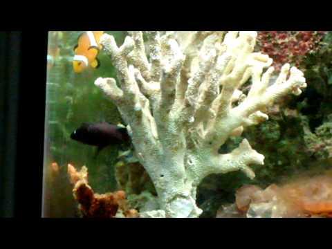 Domino Damsel Fish Breeding