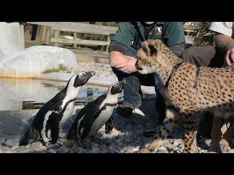 Kumbali and Kago meet African Penguins