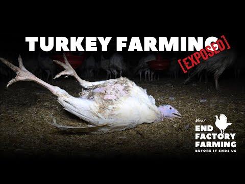 Turkey Farming Exposed: East Farm, Clearwell Farm and Strawberry Hill Farm