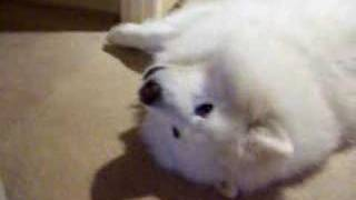 The Amazing Singing Samoyed Dog
