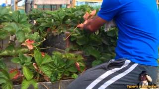 Potting Up Strawberry Runners! (free Plants)