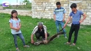 İmişli sakini həyətində yaralı qartal balası tapıb