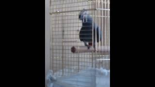 terbiyeli papağan şakir konuşuyor