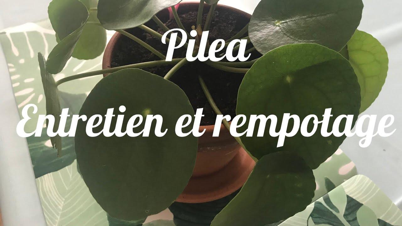 Pilea Peperomioides 🌿🌿 Entretien et Rempotage 🌵🌵Plante d'intérieur - YouTube
