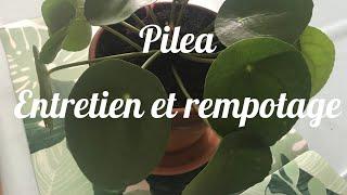 Pilea Peperomioides 🌿🌿 Entretien et Rempotage 🌵🌵Revue Plantes Vertes #10