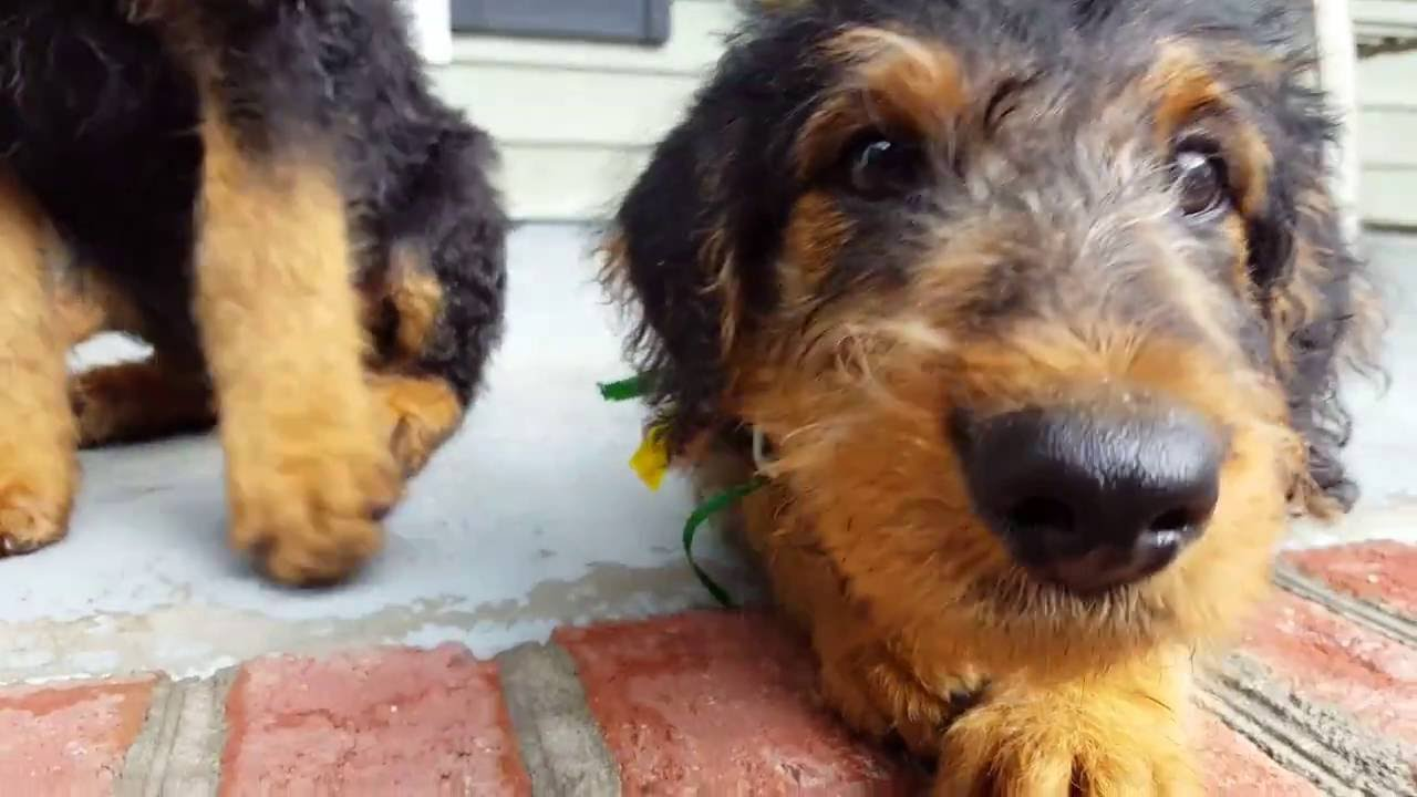 Airedale Terrier Puppies for Sale Video  S  S Family Airedales  Dallas the Airedale Puppy