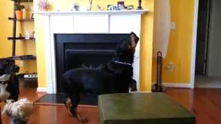 Zeus The Rottweiler Howling At Sirens