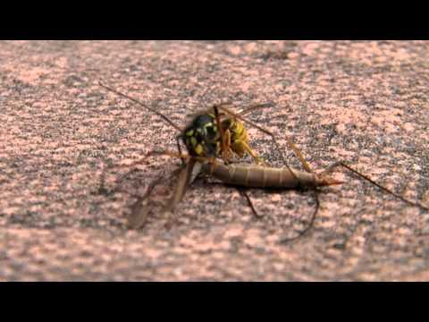 Wasp eating a Cranefly