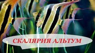 Скалярии Альтум в аквариуме. Содержание, разведение, совместимость, чем кормить