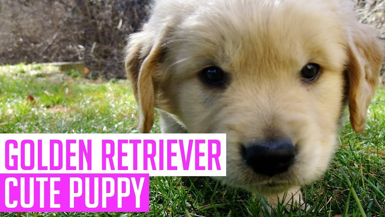 Best Of Instagram Golden Retriever Puppy Cute Funny Videos 2018