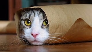 FUNNY CATS Compilation 2017 (Funny Cat Videos)