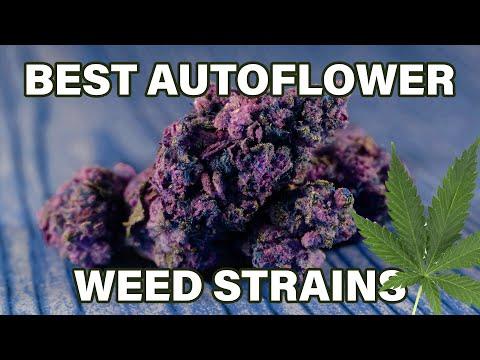 Top 10 Strongest Autoflowering Weed Strains 2021