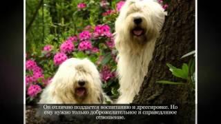Средние породы собак Бобтейл