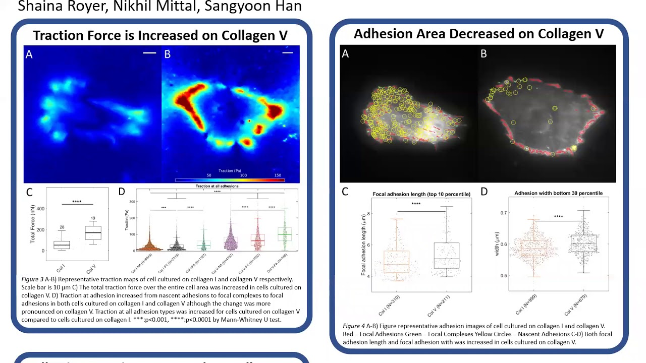 Preview image for Collagen V promotes cell contractility and adhesion compared to Collagen I video