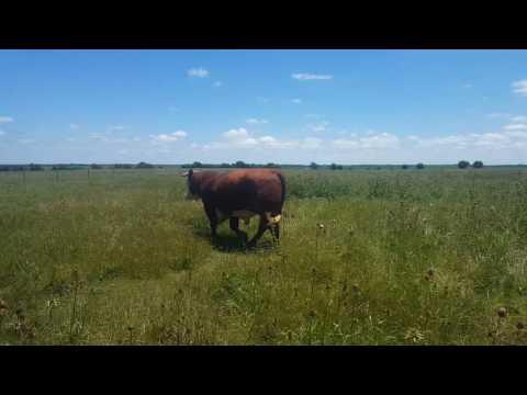 Reg. Hereford Bulls