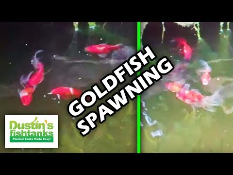 HOW TO BREED GOLDFISH: Goldfish spawning early morning