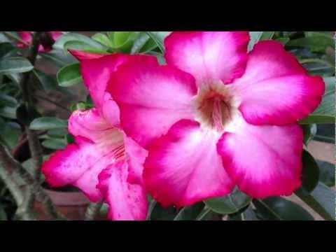 วีดีโอภาพดอกไม้ ถ่ายจาก Iphone 4s