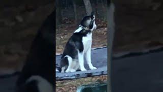 Bouncing Husky    ViralHog