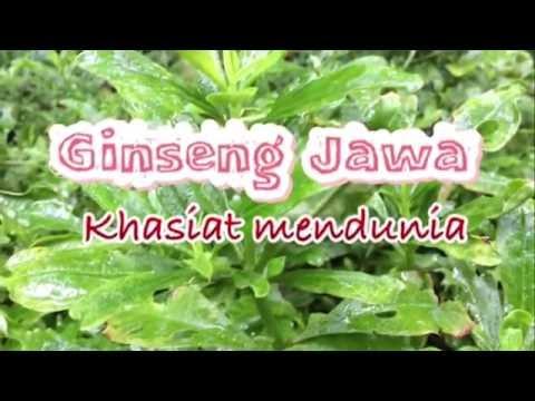 Herbal Vitalitas Ginseng Jawa:Bali-Talinum paniculatum gaertn