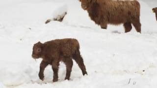 Pitcher Mountain Diego Highland Calf Just Over A Week Old