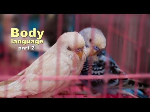 🌍 Budgie Body Language (part 2)