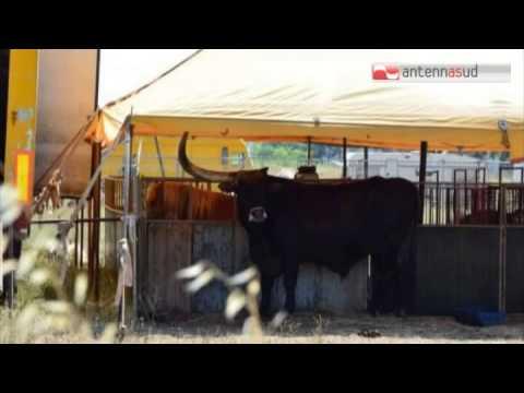 TG 17.07.15 Strappano un corno ad un toro del circo, caccia a 4 balordi nel tarantino