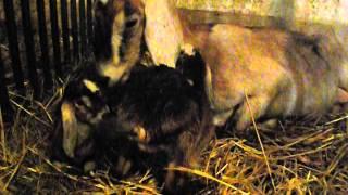 Koza Christine z pociechami | www.koziebrody.com.pl