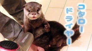 カワウソ コタロー ヘアドライヤーで乾かしてほしいみたい Otter kotaro drying time