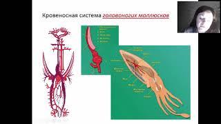 Кровеносная система Головоногих моллюсков