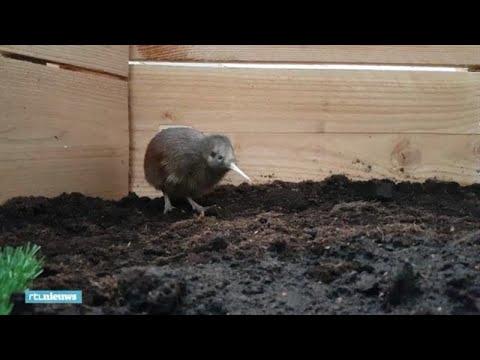Uniek: kiwi kruipt in Nederland uit ei - RTL NIEUWS