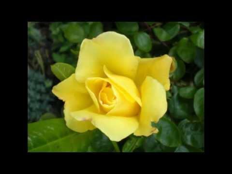 Роза Голден Шауэрс, полуплетистая... Лимонный дождь,,,