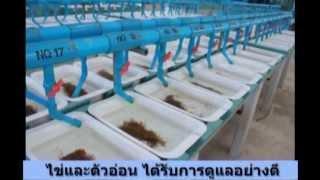 ป.เจริญฟาร์ม ฟาร์มเพาะพันธุ์ปลานิล (PCF tilapia hatchery) Thailand